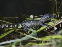 jonge alligator foto