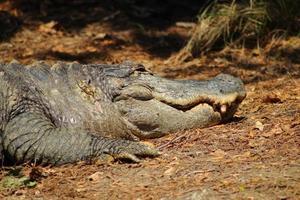 alligator koesteren in de zon foto
