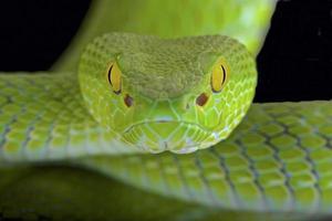 pitviper met grote ogen (trimeresurus macrops) foto