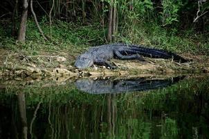 alligator staat op het punt de rivier in te gaan