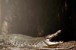 krokodil ligt tussen land en water foto