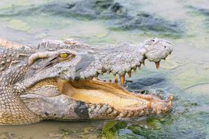 wildlife krokodil in het water