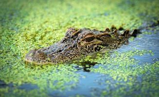 baby alligator in het water foto
