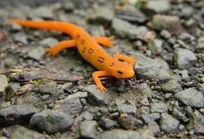 macro roodgevlekte newt die op rotsachtig kiezeloppervlak rust foto