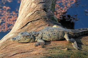 baby krokodil zonnebaden foto