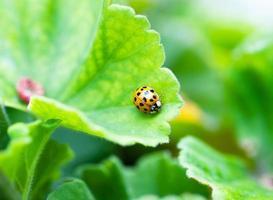 lieveheersbeestje op blad, close-up foto