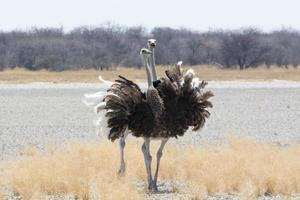 twee struisvogels. foto