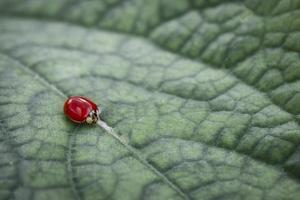 lieveheersbeestje blad foto