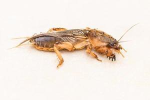 mol cricket, gryllotalpidae