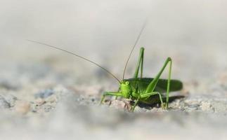 groene struikkrekel foto