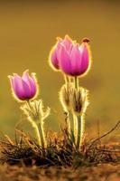 pasqueflowers en een lieveheersbeestje ii. foto