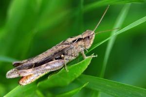 close-up van een sprinkhaan tegen groene achtergrond foto