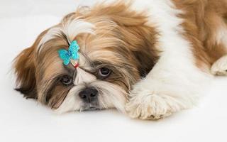 puppy shih tzu foto