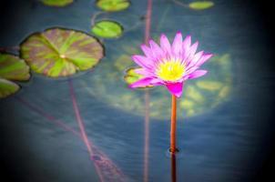 roze waterlelie in water foto