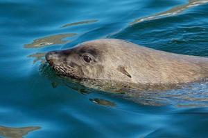 bruine zeebeer foto