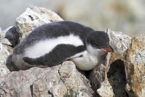 Ezelspinguïnkuiken die op de rotsen bij de kolonie slaapt