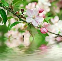 appelboom bloem foto