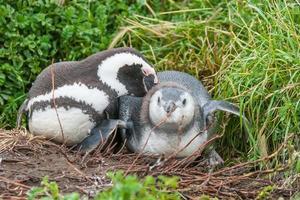 twee pinguïns liggen foto