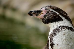 humboldt-pinguïn (spheniscus humboldti) foto
