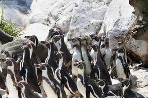 groep pinguïns die zich op rotsen bevinden foto