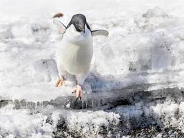 fauna van antarctica foto