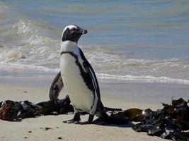 jackass pinguïn foto