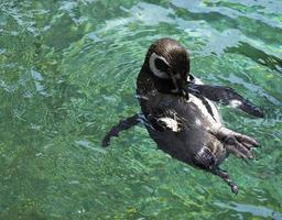 pinguïnbad foto