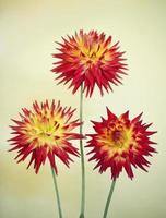 cactus dahlia - karma bon bini foto