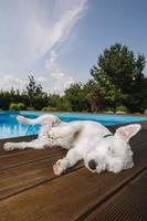 hond liggend bij zwembad foto