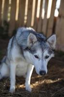 mooie zwart-witte husky dame foto