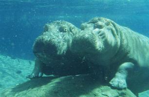 twee nijlpaarden foto
