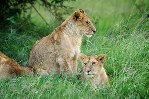 leeuw in het gras van Masai Mara, Kenia foto