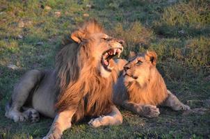 leeuw met jong mannetje foto