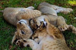 baby leeuwen foto