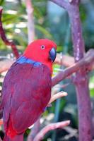 kleurrijke eclectuspapegaai