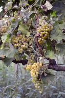 muskaatdruiven op de wijnstok foto