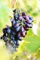 blauwe druiven op wijnstokken foto