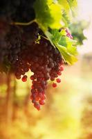 druivenoogst foto