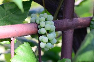 groene onrijpe druiven foto