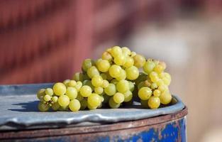 rijpe druiven klaar voor de oogst foto