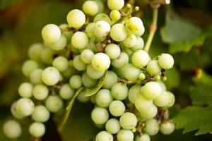 groene wijnstok foto