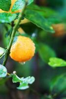 kleine sinaasappelboom foto