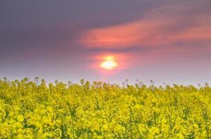 zonsondergang over koolzaad veld foto