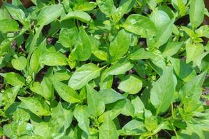 zelfgemaakte biologische groenten foto