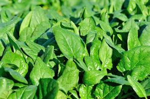 groene spinazie in groei op moestuin