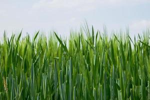 jonge tarwe in de lucht foto
