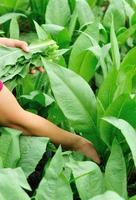 vrouw boer handen plukken blad sla plant foto