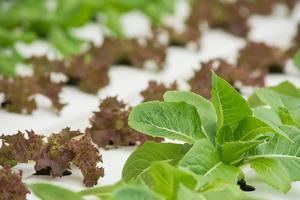 biologische hydrocultuur groente. foto