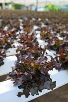 rode eik, groene eik, teelt hydrocultuur groene groente in f foto