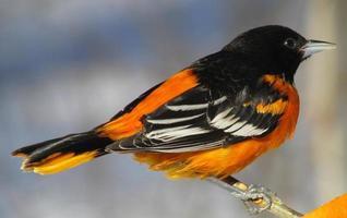 mannelijke Baltimore oriole in de winter